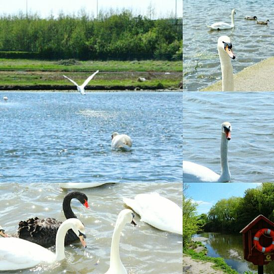 Water Swans Estuary BlackSwan Black White Flying Bird Flying Canon1200d Canonphotography Canon