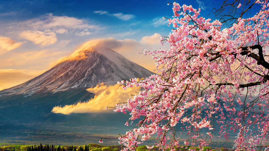 Fuji mountain and cherry blossoms in spring, Japan. Plant Flowering Plant Flower Beauty In Nature Pink Color Sky Tree Nature Growth Scenics - Nature Freshness Springtime Blossom Cloud - Sky Fragility Mountain Tranquility Vulnerability  Tranquil Scene No People Outdoors Cherry Blossom Cherry Tree Mountain Peak
