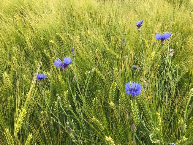 Flower Growth Grass Purple Nature Field Beauty In Nature No People Plant Outdoors Petal Fragility Day Freshness Green Color Blue Blooming Flower Head Corn Field Kornblume
