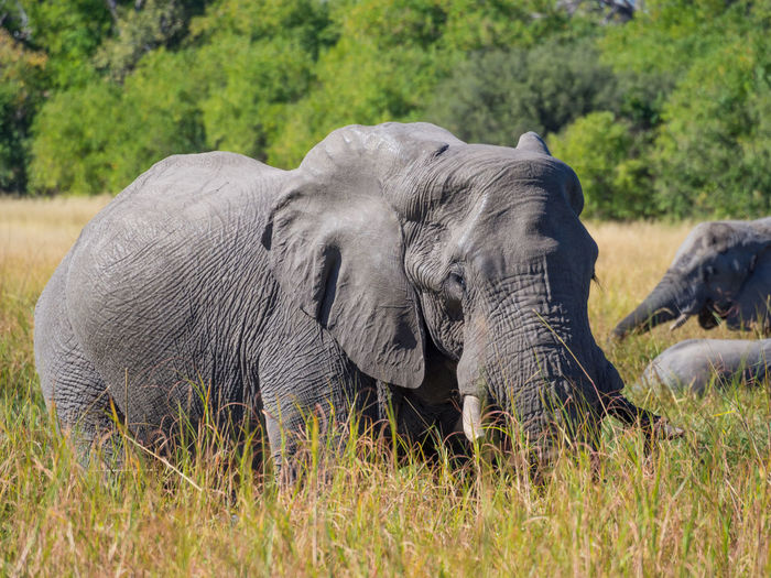 Male african elephant standing in high grass, moremi game reserve, botswana