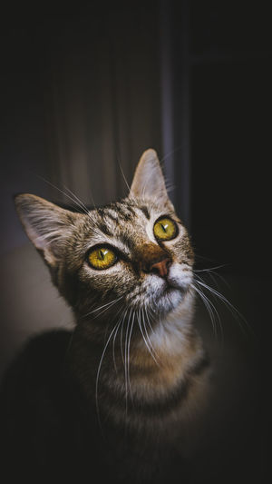 Close-up portrait of tabby cat against black background
