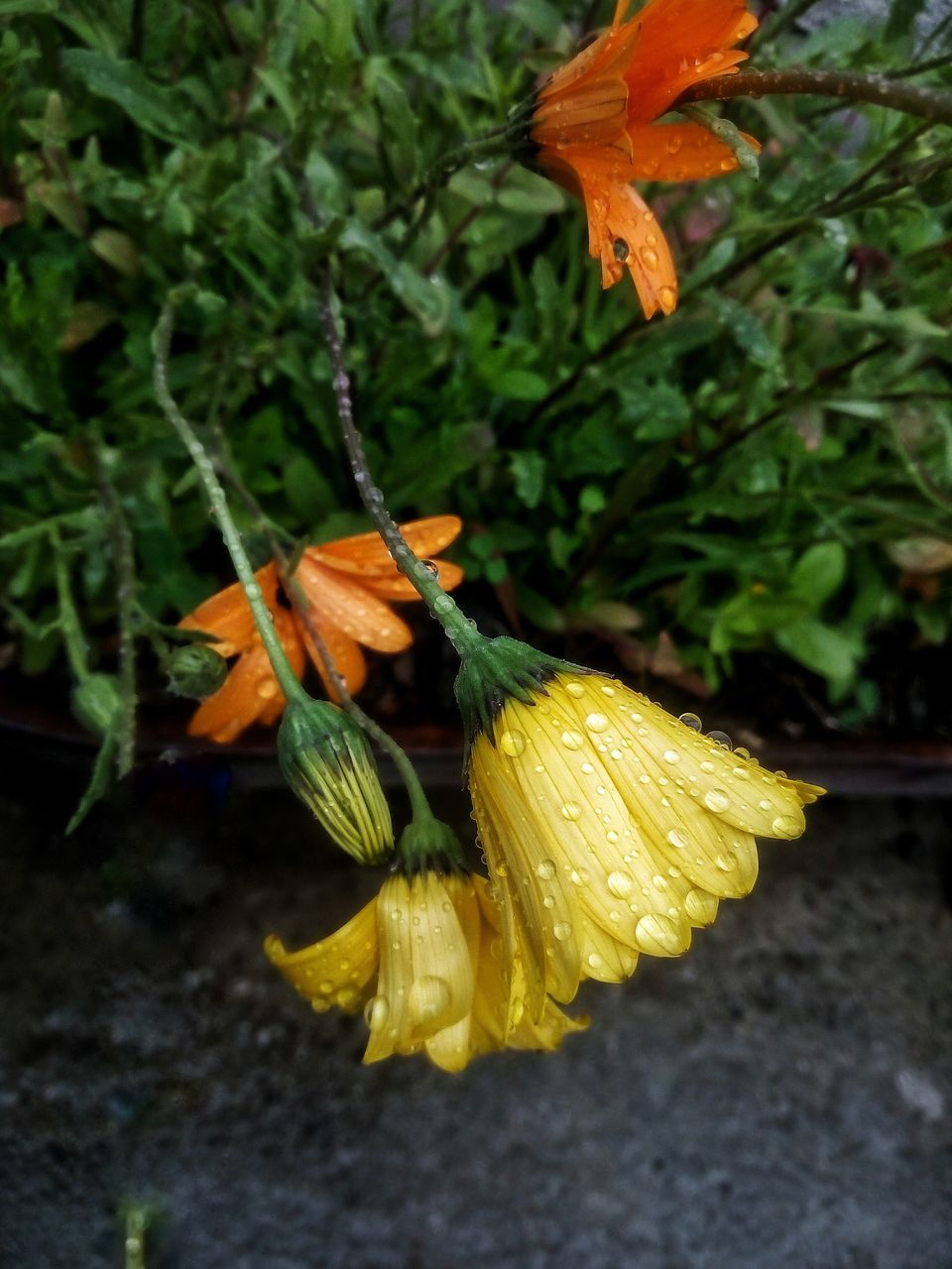 flower, growth, orange color, yellow, petal, nature, beauty in nature, green color, outdoors, fragility, no people, freshness, plant, flower head, day, leaf, close-up, day lily
