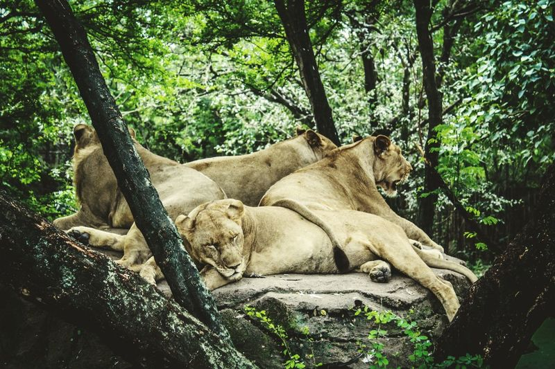 Rare sight Wildlife PACKOFLIONS Foto Travel 500px Getty Images Wallpaper Instagood Fotografia Fotolia YOUPIC Earth Photooftheday EyeEm Selects Getty Images Tree Relaxation Branch Lying Down Tree Trunk Lioness Big Cat Lion Cat Family Carnivora