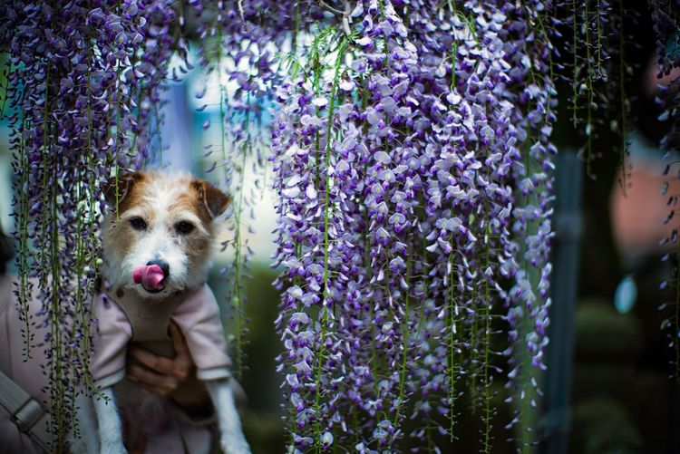 View of dog against wisteria flowering plants