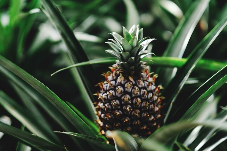 Ananas 🍍🍍🍍 Plant Growth Green Color Close-up No People Nature Beauty In Nature Day Freshness Leaf Plant Part Pineapple Flower Focus On Foreground Flowering Plant Outdoors