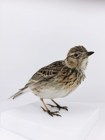 Skylark at Museum für Naturkunde naturalhistory NaturalHistoryMuseum naturaltexture texture songbirds Songbird Feathers skylark naturelovers Nature nature_collection one animal animal themes white background bird no people studio shot Nature close-up first eyeem phot Close-up Studio Shot No People Bird White Background Animal Themes One Animal Nature_collection Nature Naturelovers Skylark  Feathers Songbird  Songbirds Texture Naturaltexture NaturalHistoryMuseum Naturalhistory