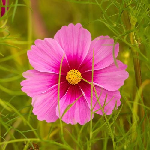 Flower Petal Growth Nature Beauty In Nature Fragility Flower Head Blooming Plant Freshness Field No People Outdoors Day Pink Color Pollen Close-up Yellow Cosmos Flower Grass Beauty In Nature Landscape_Collection EyeEm Best Shots - Nature Rose - Flower Flowers