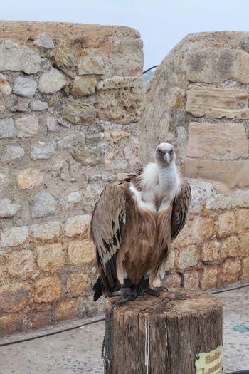 Condor Fauna