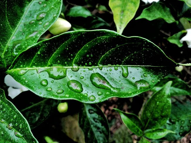 Raindrops Drops Leaves Nature Photography Naturelovers Beauty In Nature Mobile Photography My Passion ❤ EyeEm Nature Lover EyeEm Gallery Getty Images EyeEm Incredible India With Love From India💚 Keep Smiling Always 😊 Truly..urs... Nitin 🌹