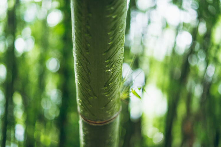 bamboo Plant Green Color Growth Focus On Foreground Nature Beauty In Nature Day Tree Close-up No People Forest Land Plant Part Tranquility Leaf Outdoors Selective Focus Bamboo - Plant Green Bamboo Grove
