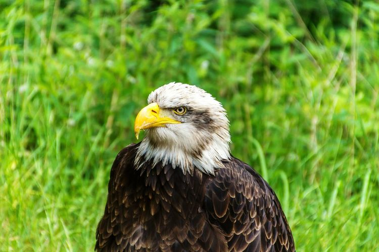 Close-up of eagle perching on grass
