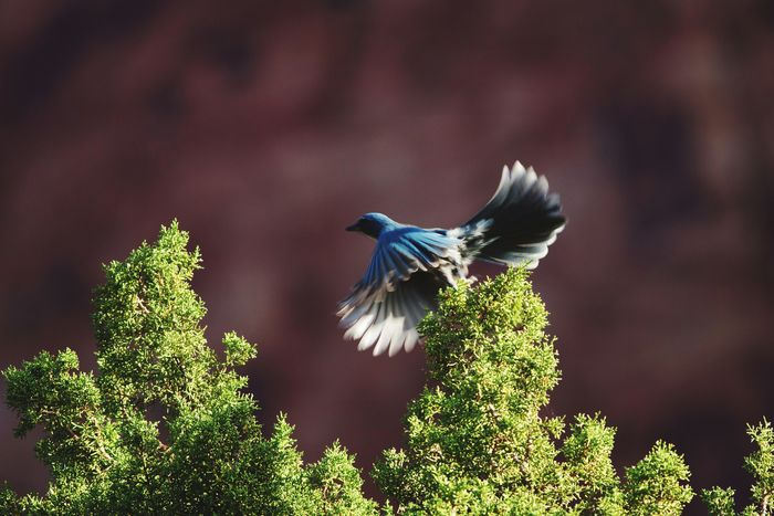 beautiful flight motion on a western scrub Jay Motion Blur Motion Capture Bird Western Scrub Jay Jay Sunlight Canyon Maxwell Canyon Wildlife Utah Bird One Animal Animal Wildlife Flying No People Animals In The Wild Animal Themes Nature Spread Wings Beauty In Nature