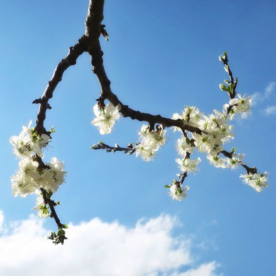 Kriekenbloesem Kersen Kersenbloesem Krieken Blossom And Sky Blossom Backlit Blossom Blossoming Tree Cherry Cherry Blossoms Cherry Tree Spring Springtime Spring Flowers