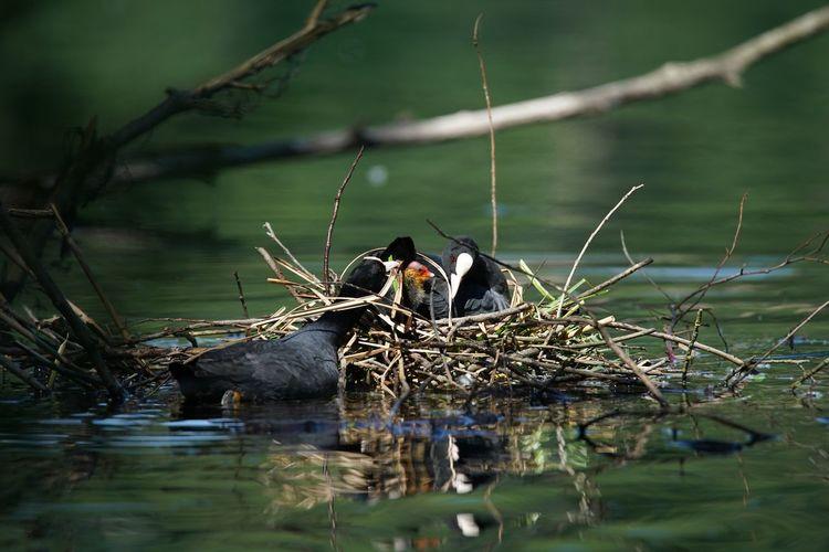 Famiglia di Folaghe Anatre Fiume Adda Folaga Folaghe Nature Nido Piccoli Wild Wildlife & Nature Flying High