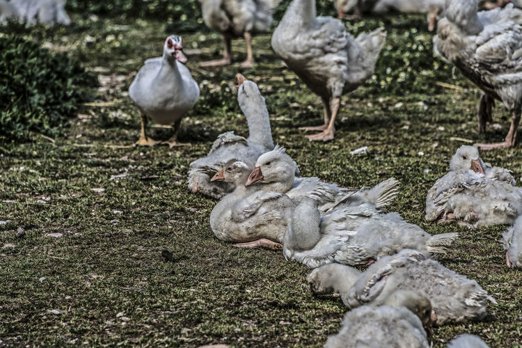 ducks at rest Animal Large Group Of Animals Flock Of Birds Domestic Animals Grass Bird Vertebrate Ducks Gosling Poultry Goose Geese Family Nearness Animal Neck Animal Eye Young Animal Hen House Full Frame High Definition