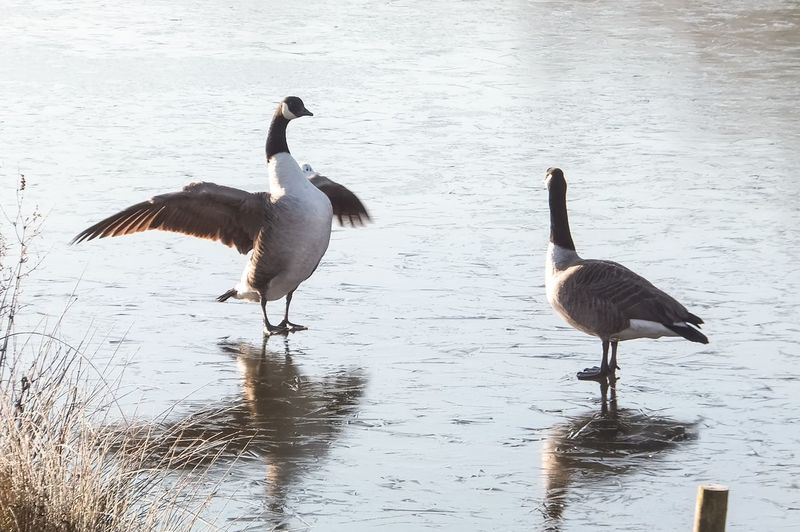 Two Geese and the Sneaky Seagull Geese Frozen Lake Swindon Winter England