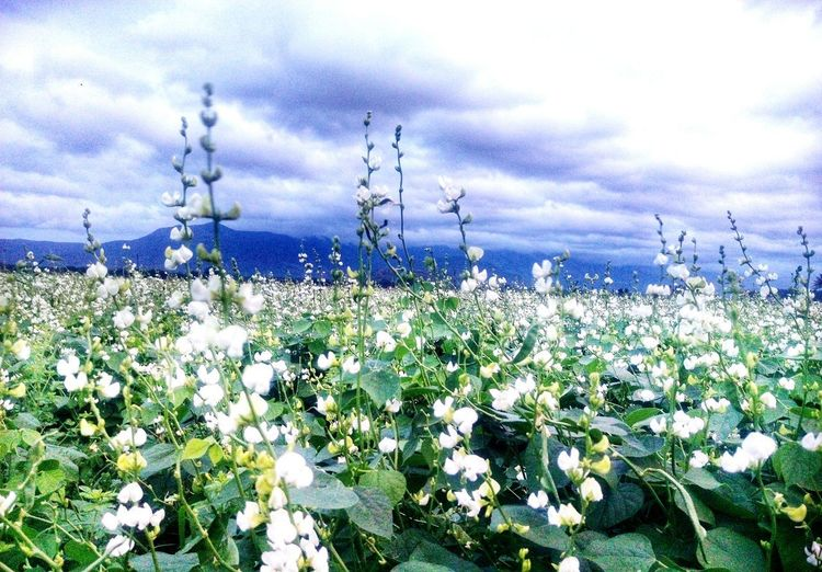 Kambam Flower