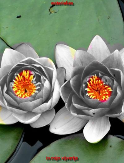 Water Lilies In My Pond