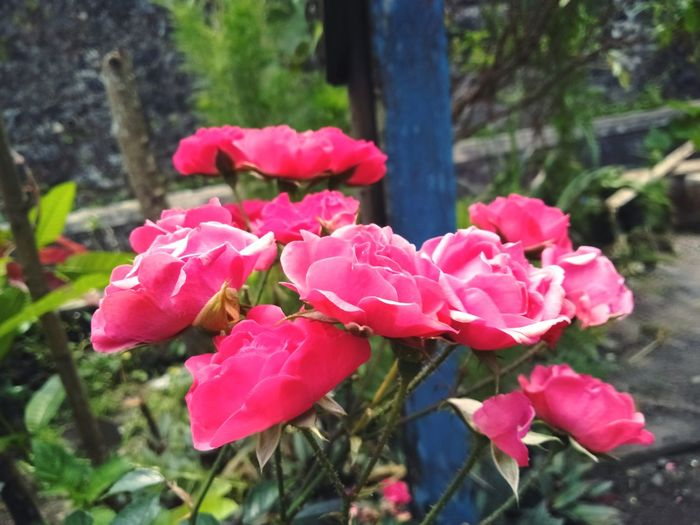 Flower Mini Roses Colors Manyflowers Flowers, Nature And Beauty Flower Photography Nature Beauty Nature Beauty In Nature Freshness Beauty Fresh Pink Color PINKY 花 Plant EyeEmNewHere