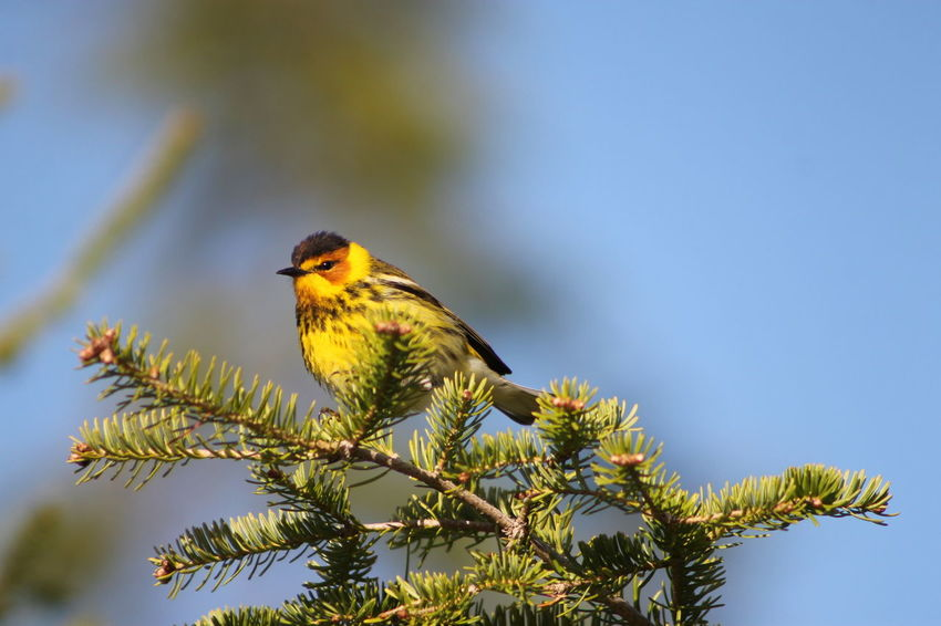 Cape May Warbler Animal Themes Animal Wildlife Animals In The Wild Beauty In Nature Bird Branch Cape May Warbler Close-up Day Low Angle View Nature No People One Animal Outdoors Perching Saguenay, Québec, Canada Sky Songbird  Tree EyeEmNewHere Pet Portraits The Week On EyeEm Paint The Town Yellow