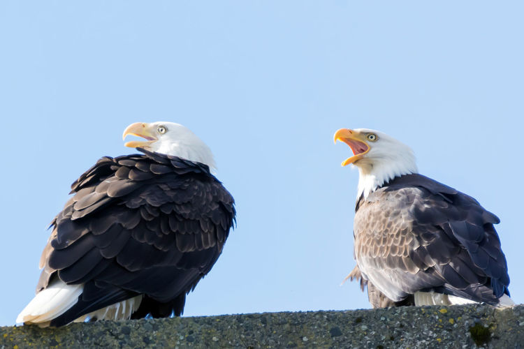 A pair of Bald