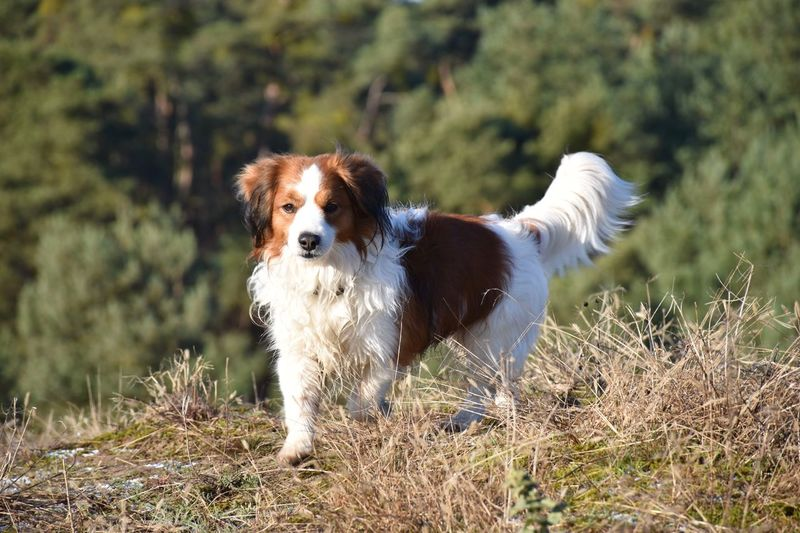 He hates to be called cute 3XPSUnity Adventure Animal Animal Themes Animals Beast Cute Dangerous Day Dog Domestic Animals EyeEm Best Edits EyeEm Best Shots EyeEm Nature Lover Grass Kooiker  Kooikerhondje  Mammal Monster Nature No People One Animal Outdoors Pets Standing