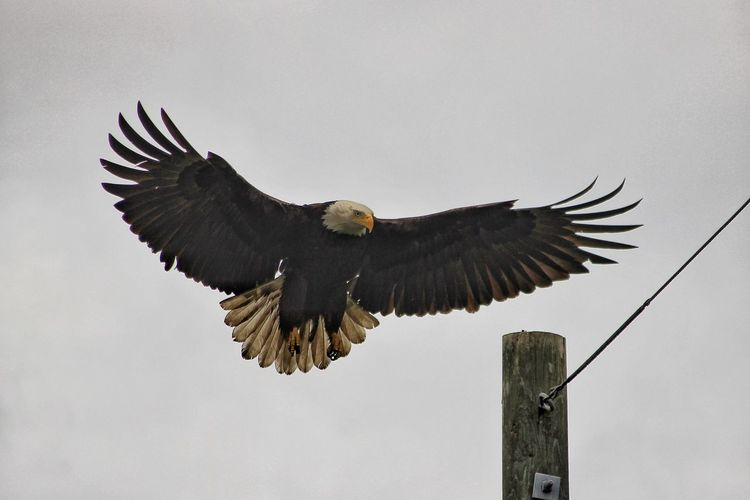 Low angle view of bald eagle flying against clear sky