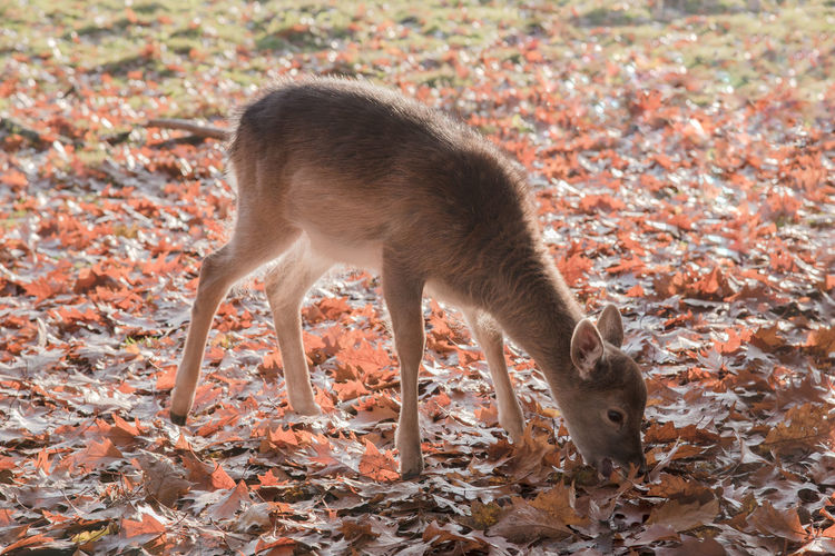 Animal Themes Animal Wildlife Animals In The Wild Autumn Day Deer Full Length Leaves Mammal Nature No People One Animal Outdoors Tail