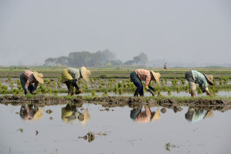 People planting rice on farm