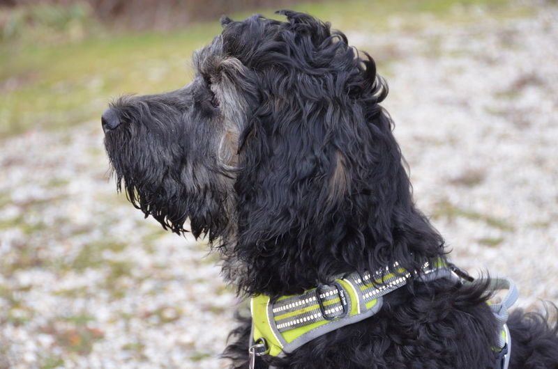 Doodle Nikon Nikon D5100  Animal Hair Animal Themes Black Color Close-up Day Dog Domestic Animals first eyeem photo Focus On Foreground Mammal Nature No People One Animal Outdoors Pet Collar Pets