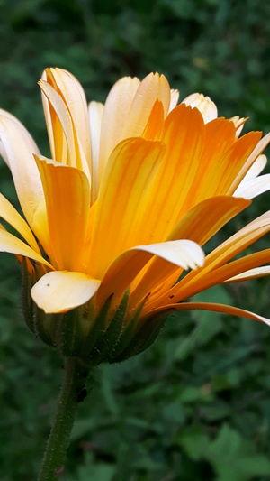 Marigold #1