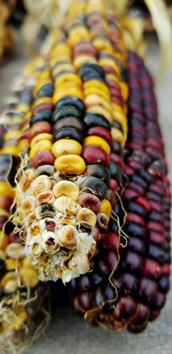 Indian Corn Fall Multi Colored Close-up
