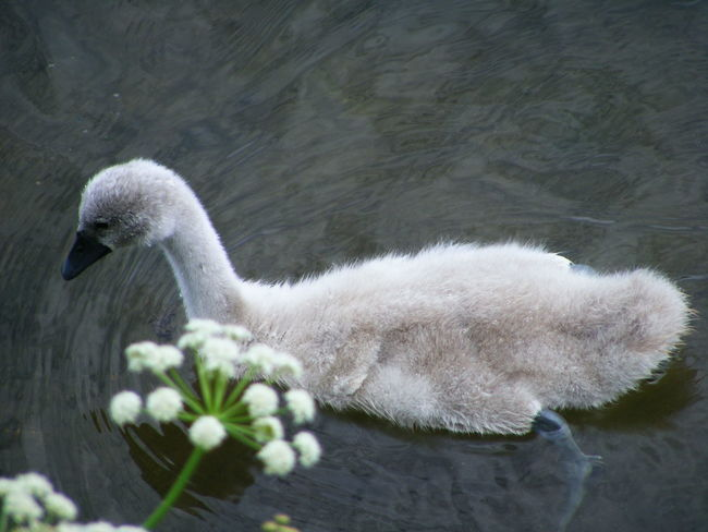 Baby Swan Baby Swans Bird Bird Photography Birds Birds_collection Cygnet Cygnets Nature Nature Photography Nature_collection Swans Wildlife Wildlife & Nature Wildlife Photography