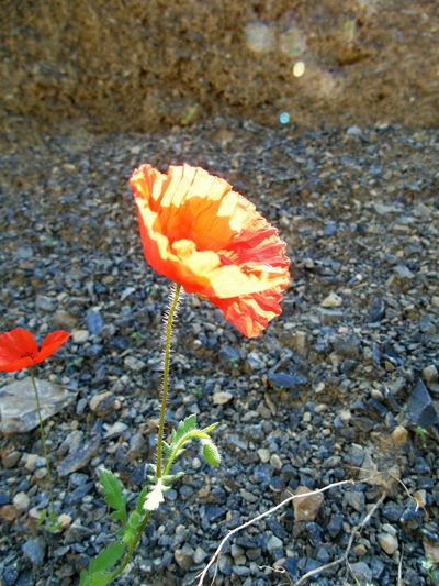 Beauty In Nature Bes Shots Of He Day Close-up Colorful Day Flower Fragility Hello World ❤ I Like It So Much No People Outdoors Poppies Tour Red Red Tranquility