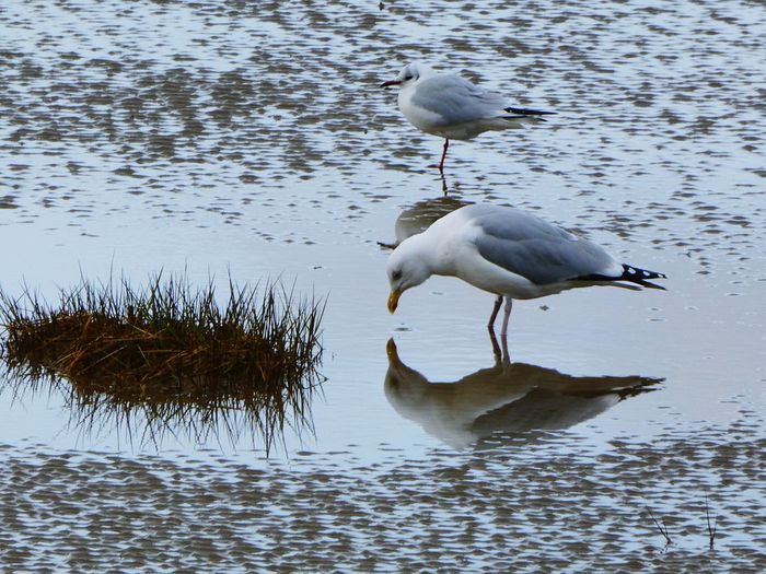 Mirror mirror on the sand, who's the best bird in the land ? Bird Water Beach Sand Ripples Sand Reflections In The Water No People Outdoors Nature Day Animals In The Wild Animal Themes Animal Wildlife Seagulls Vanitymirror Sea Grass Wormcasts Featheredfriends The Great Outdoors - 2017 EyeEm Awards