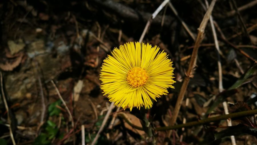 Close-up of yellow flower on field