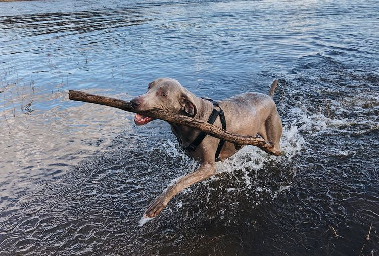 Animal Animal Themes Canine Collar Day Dog Domestic Domestic Animals Fetch Mammal Motion Nature No People One Animal Pet Collar Pets Playing Stick - Plant Part Water Waterfront Weimaraner Wet