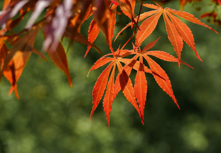Golden boughs Plant Part Leaf Autumn Plant Change Orange Color Tree Beauty In Nature Red Nature Maple Leaf No People Leaves Branch Orange Natural Condition Tranquility Outdoors