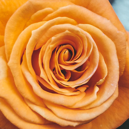 Backgrounds Beautiful Beauty Beauty In Nature Blooming Close-up Floral Flower Flower Head Fragility Freshness Full Frame Growth Love Nature No People Orange Outdoors Perfect Petal Rose - Flower Roses Rose🌹 Softness Yellow