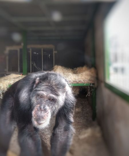 the boss! Chimpanzee Rescued Architecture Close-up Built Structure Animals In Captivity Monkey