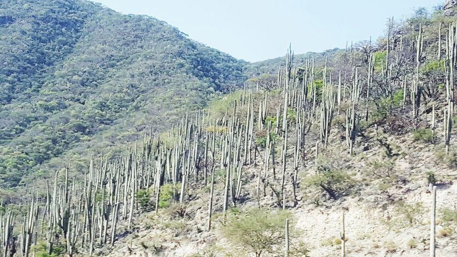 cactus invation