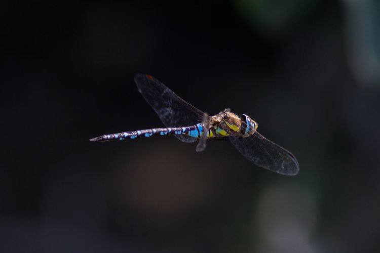 Herbst-Mosaikjungfer Herbst-Mosaikjungfer Aeshna Mixta Mosaikjungfern Aeshna Aeshnoidea Aeshnidae Aeshnids Edellibellen Darners Darner Darner Dragonflies Hawkers Anisoptera Großlibellen Großlibelle Dragonfly Dragonfly Nature Insects Dragonfly Photograohy Dragonflies Dragonflies In Flight Odonata Libelle Libellen Insect Insects  Insect Photography Insects Collection Insect Paparazzi Summer Animal Animal Themes Animals In The Wild Animal Wildlife Animals Invertebrate Invertebrates Insekt Insekten Insektenfotos Wildlife Wild Wildlife & Nature Wildlife Photography Beauty In Nature Beauty In Ordinary Things Beauty Of Nature Close-up One Animal