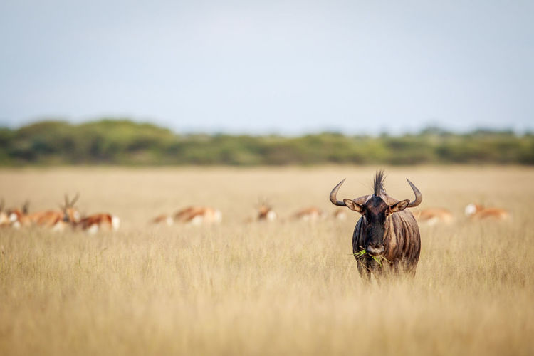 Blue wildebeest standing on grassy field against sky