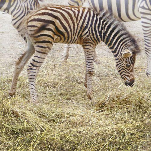 Baby zebra Hay