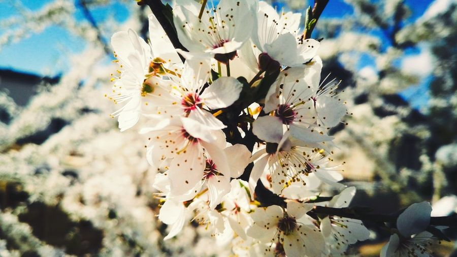 Spring beuty. Spring Blooms Beuty Nature PhonePhotography Lithuania Tree Tree Art Nature Botanical Floralperfection Colorsofnature