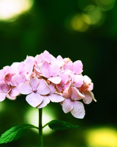 紫陽花 紫陽花 カメラ あじさい Flower 写真好きな人と繋がりたい 長居植物園 マクロレンズ カメラ修業中 カメラ初心者 カメラ好きな人と繋がりたい 写真すきな人と繋がりたい カメラ好き カメラ練習 2017年
