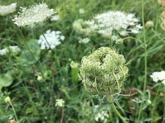 Plant Growth Green Color Close-up Beauty In Nature Focus On Foreground Day Nature Outdoors Freshness Tranquility Flowering Plant Leaf Flower