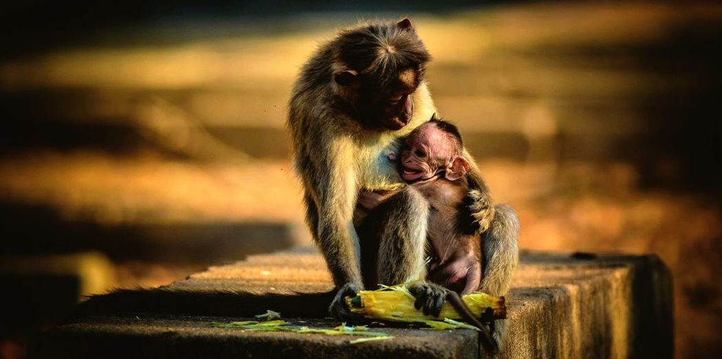 Monkey with infant sitting on retaining wall