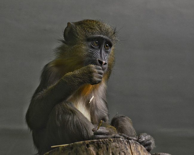 Alertness Animal Animal Head  Animal Themes Animals In The Wild Close-up Curiosity Day Focus On Foreground Mammal Monkey No People One Animal Relaxation Relaxing Sitting Two Animals Wildlife Zoology животные зоопарк обезьяна Природа