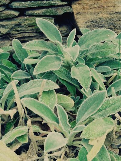 Mullein Mullein Flowers,Plants & Garden EyeEm Nature Lover Herbs EyeEm New Jersey Smartphone Photography EyeEm Gallery EyeEm Best Shots EyeEm